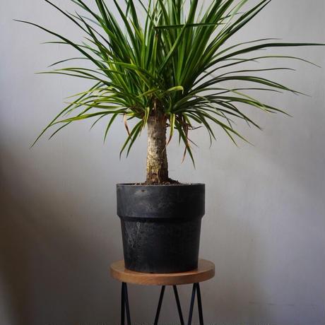 ドラセナ カンボジアナ 鉢付き