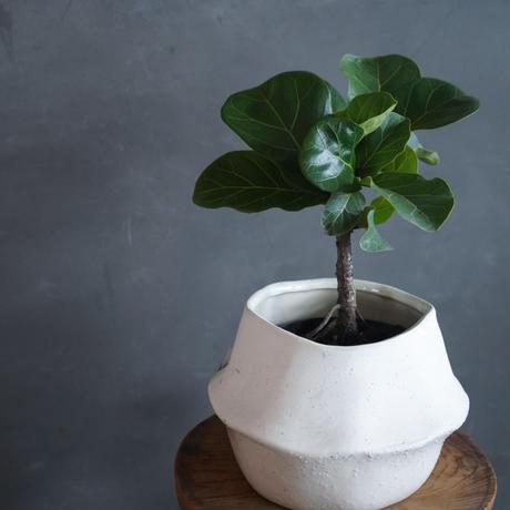 カシワバゴム バンビーノ 陶器鉢セット 観葉植物 グリーン お洒落 インテリア ナチュラル 新生活 ギフト