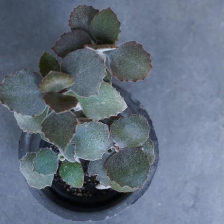 センニョノマイ 鉢セット 観葉植物 グリーン お洒落 インテリア ナチュラル 新生活 ギフト  のコピー