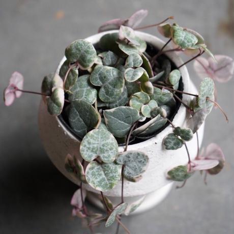 ハートカズラ 鉢付き セット 観葉植物 グリーン インテリア 新生活