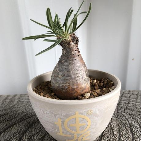 Pachypodium rosulatum var gracilius No.16