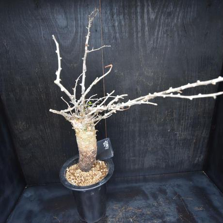 Commiphora humbertii#1 コミフォラフンベルティ