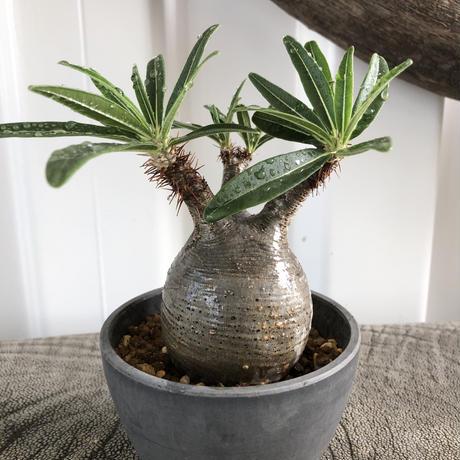 Pachypodium rosulatum var gracilius No.10