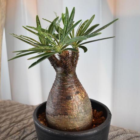 Pachypodium rosulatum var gracilius No.6