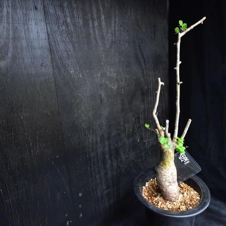 Commiphora humbertii#2 コミフォラフンベルティ