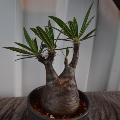Pachypodium rosulatum var gracilius No.5