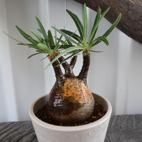 Pachypodium rosulatum var gracilius No.1
