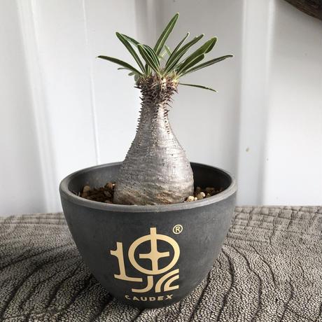 Pachypodium rosulatum var gracilius No.14