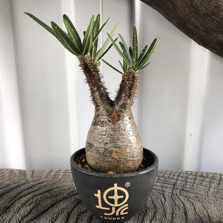 Pachypodium rosulatum var gracilius No.9
