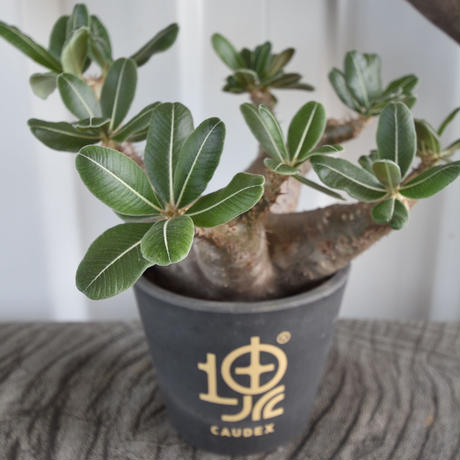Pachypodium makayense No.1 マカイエンセ