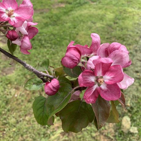 母の日・父の日ギフト【りんご】