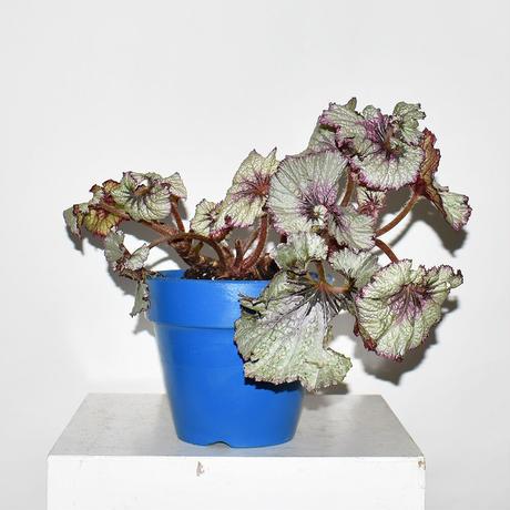 Rex begonia sea sprite
