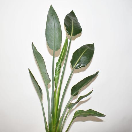 Strelitzia-1