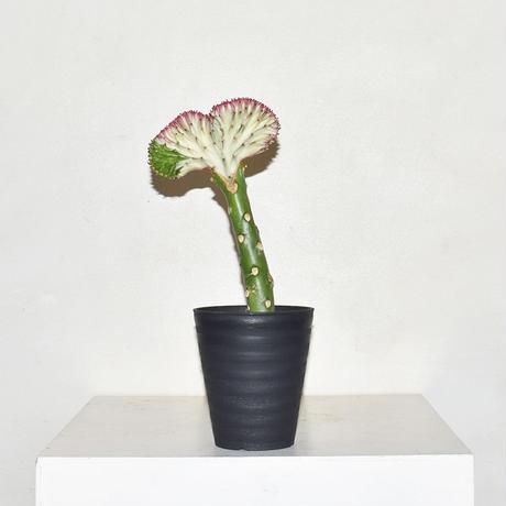 Euphorbia lactea-2