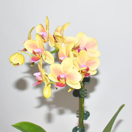 Orchid/YELLOW