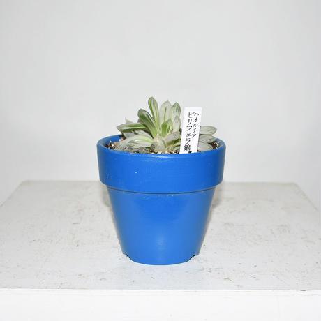 Haworthia pilifera
