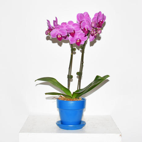 Orchid/PURPLE