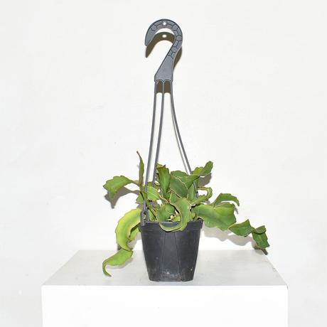 Epiphyllum guatemalense-2