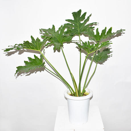 Horsehead philodendron-2