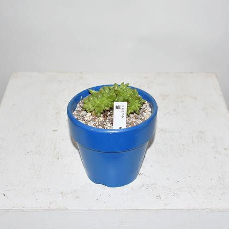 Echeveria agavoides f.cristata