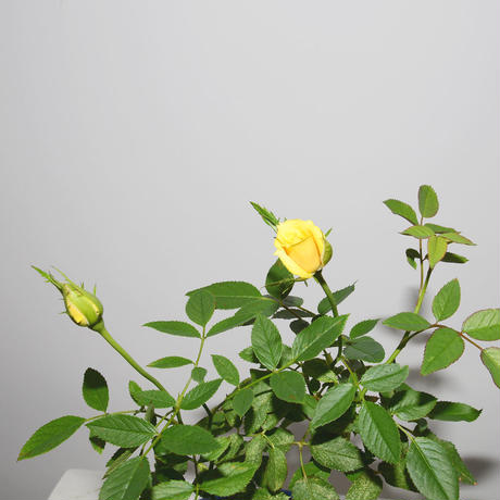 Mini Rose(Yellow)-2