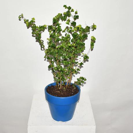 Ficus benjamina barok