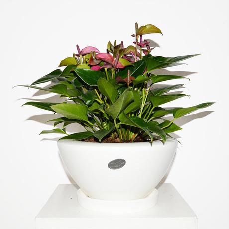 Anthurium shirano