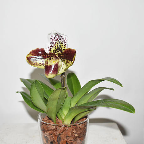 Glass pot Orchid