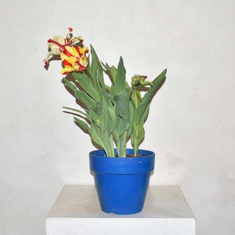 Tulip/Parrot bloom