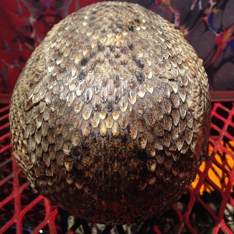 Vintage Rattlesnake  Skin  Skull