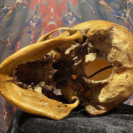 Realistic Male Skull Lamp  《Type2》
