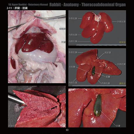 YILハイパーブックレット-ヴェテリナリマニュアル「ウサギ-解剖-胸腹腔臓器」