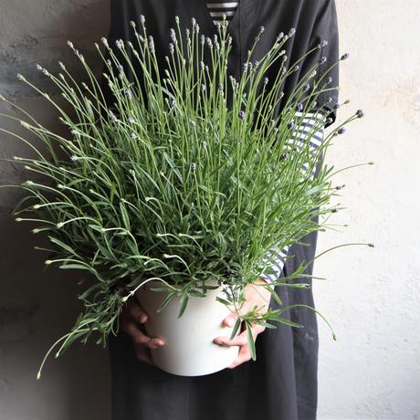ラベンダー  富良野  out door plants