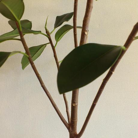 フランスゴムの木/現品