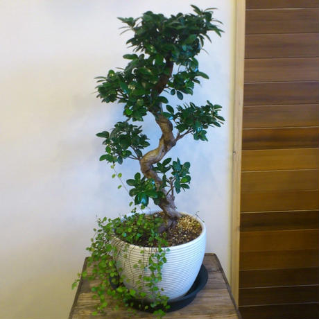 ガジュマル・盆栽仕立て/陶器ベース/現品