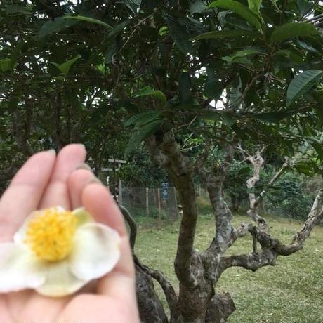 ベトナム  スオイザン 雪茶   (新芽だけを摘んだお茶)15g