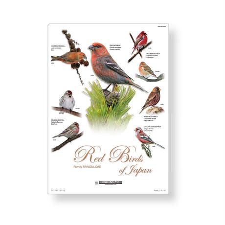 大橋弘一野鳥クリアファイル 【アトリ科の赤い小鳥たち】