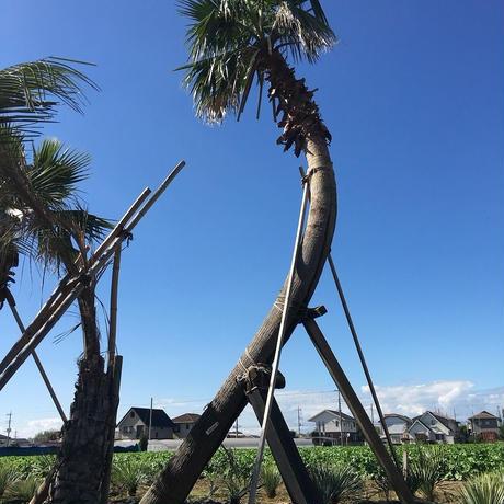パームヤシ(曲がり) 幹高5.0ⅿ(KA-21-50)