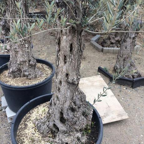 オリーブ古木 樹齢100年 ①