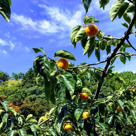 佐渡島のおいしい柿10kg 2L 46個。