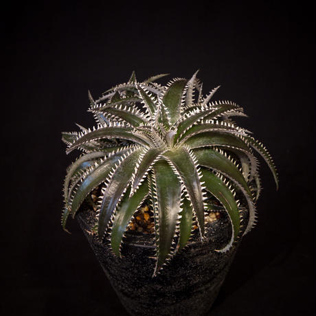 ディッキア  dyckia  retzii rubra×Arizona ×ML