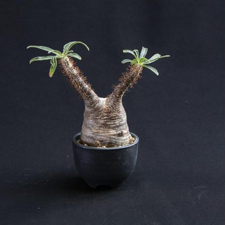 パキポディウム グラキリス Pachypodium rosulatum var.gracilius