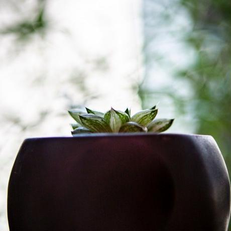 ハオルチア 氷砂糖 Haworthia turgida f. variegata