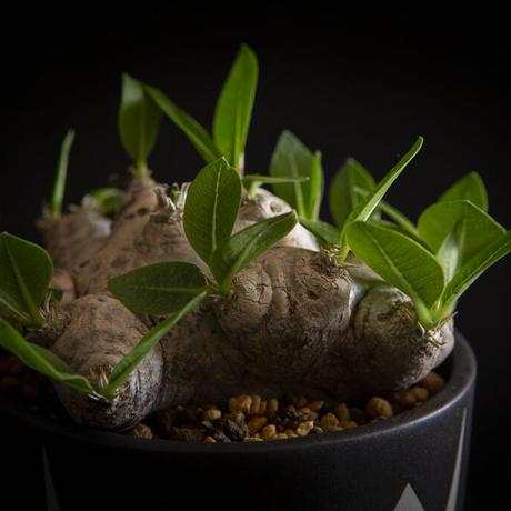 パキポディウム ブレビカウレ 恵比寿笑い Pachypodium brevicaule ③