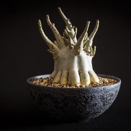 アデニウム アラビカム オクトパス Adenium arabicum 'Octopus'⑧