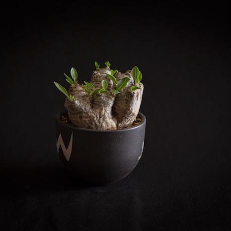 パキポディウム ブレビカウレ 恵比寿笑い Pachypodium brevicaule ④