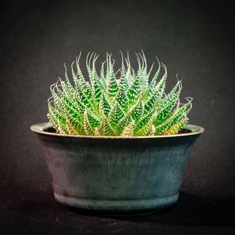 アロエ アリスタータ Aloe aristata