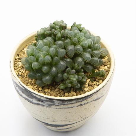 ハオルチア オブツーサ 群生 Haworthia obtusa