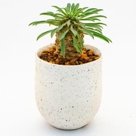 ユーフォルビア・ソテツキリン.7 Euphorbia bupleurifolia