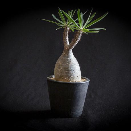 パキポディウム グラキリス Pachypodium rosulatum var.gracilius③
